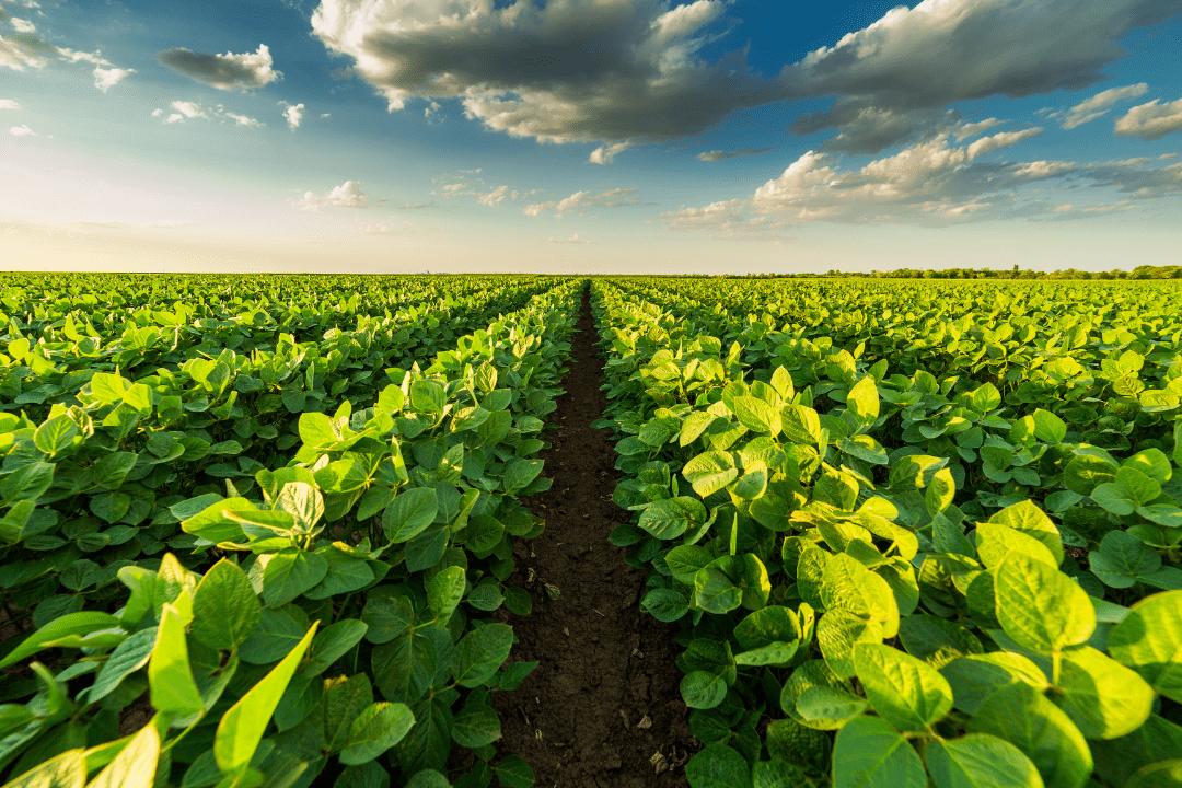 Soja e seus diversos usos na nutrição animal