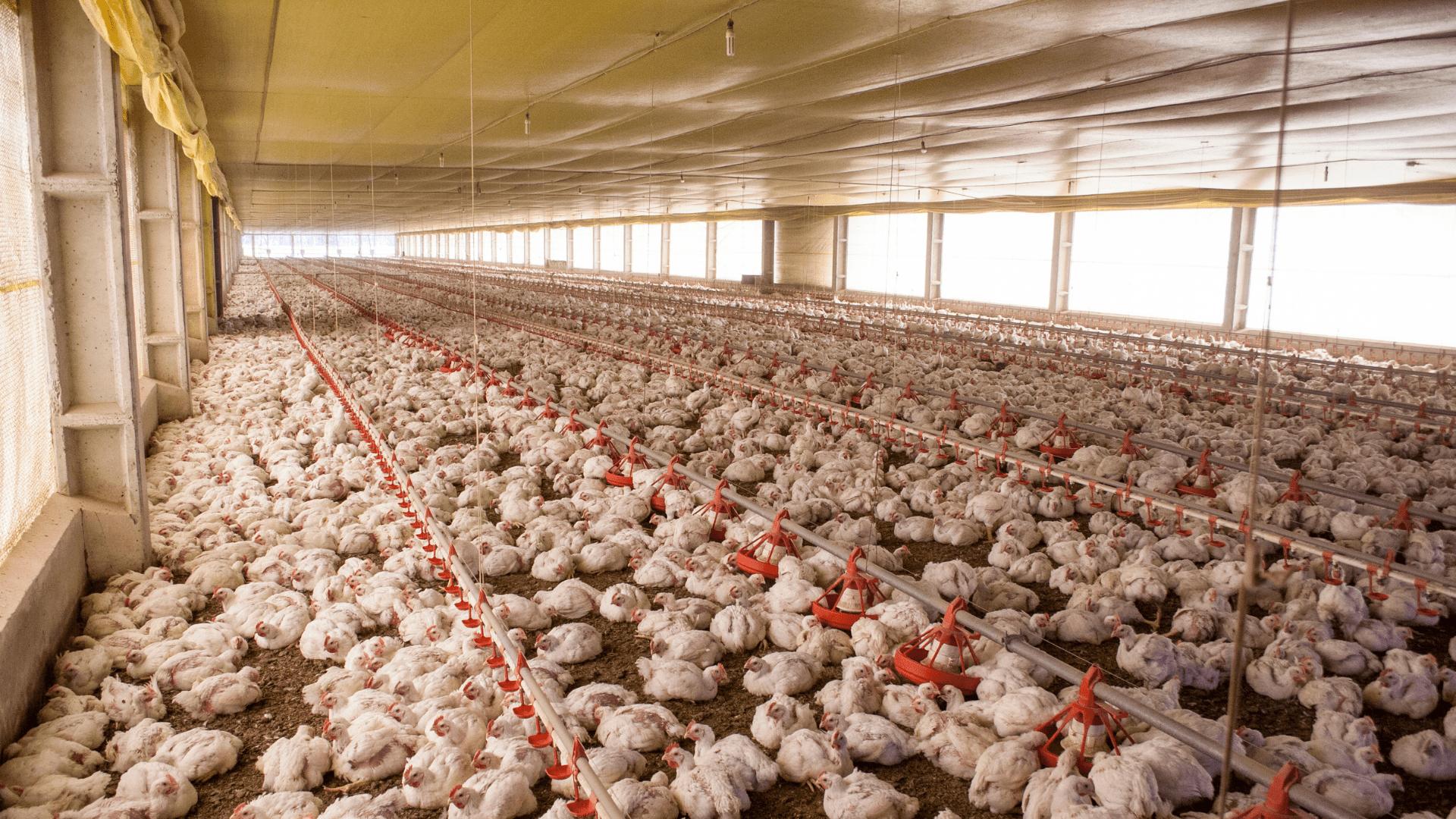 Antibióticos na Produção animal?