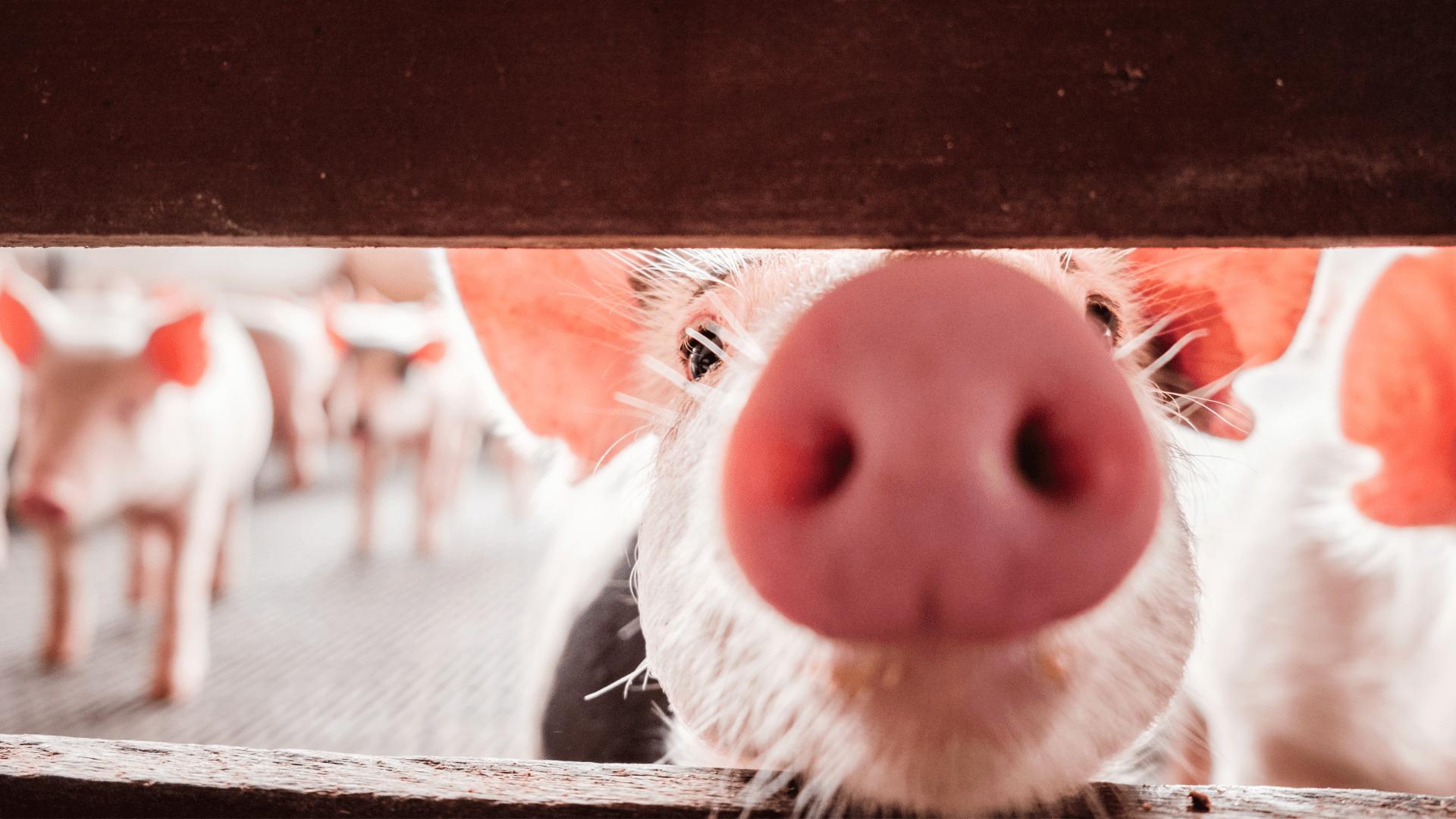 Animal Welfare – Swine Farming